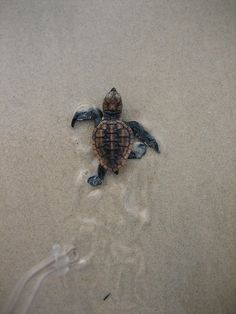 "tiny-creatures: "" Loggerhead turtle hatchlings, New Brighton_IMG_0021_070409 by npwsnorthernmarine on Flickr. """