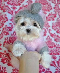 teacup maltese - I MUST have this dog!!! Sophie and Foster need a baby sister!