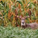 """The idea of making big, elaborate food plots that require heavy equipment and hours of labor tends to intimidate landowners. But there's a much simpler and cheaper way to join the food plot craze. Grant Woods, one of America's top whitetail biologists and head of a deer management consulting firm, creates and hunts over what he calls hidey holes. """"They're just small woods openings where I sweeten the deal in a place where deer already like to go--like putting ketchup and mustard on a hot…"""