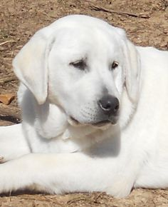 Snowy River White labs - Arkansas Looks just like my REX what a nice looking dog! Akita Puppies, Cute Puppies, Cute Dogs, Dogs And Puppies, White Lab Puppies, Doggies, White Labrador, Labrador Retriever Dog, Labrador Dogs