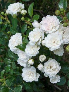 Witte rozen soorten. De Rosa Chrystal Fairy online bestellen via de webshop.
