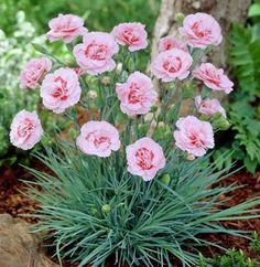 Dianthus 'Doris' - one of my favourite cottage pinks. Flowering Bushes, Planting Shrubs, Trees And Shrubs, Garden Plants, Planting Flowers, Carnation Plants, Carnations, Pink Dianthus, Dianthus Caryophyllus
