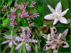 Toad-lilies, Tricyrtis, bloom throughout the fall in full shade with 'Sinonome' just getting started now and continuing into November.  Clockwise from upper left: 'Sinonome', 'White Towers', 'Miyazaki', 'Empress'.