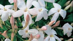 <em>Jasminum</em> polyanthum