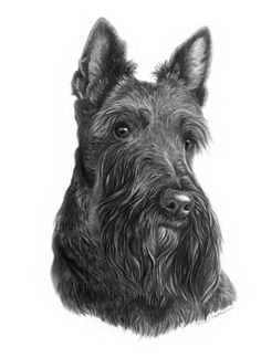 Wise and wonderful breed Baby Animals, Cute Animals, Scottish Terriers, Kittens And Puppies, Scottie Dog, Cat Drawing, Little Dogs, Dog Art, Kittens Cutest