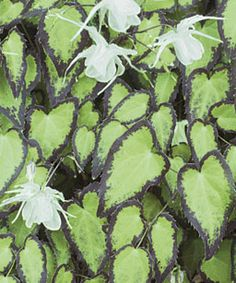 Epimedium grandiflorum var. higoense 'Bandit' tolerates shade and alkaline soil