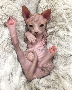 2,276 отметок «Нравится», 33 комментариев — Sphynx (@sphynx.of.insta) в Instagram: «The Daily Nude! 11.16.17 @shadesofbluerarebulldogs! Hi five in the nude! ❤️ . . . . . Follow…»