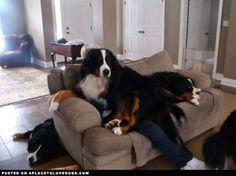 Quelques chiens adorables ... mais qui n'ont aucune conscience qu'ils sont trop grands