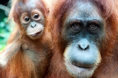 Orangutan engineer gains degree - Well, they have a degree of engineering expertise, anyway.
