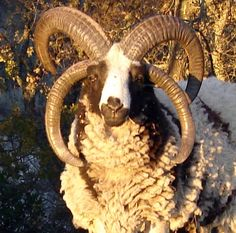 Jacob sheep Ram
