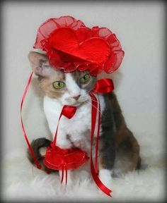 Here are some kitties that would like to wish you a Happy Valentines Day! Valentines Day Cat, Valentines Day Pictures, My Funny Valentine, Curly Cat, Crazy Cats, Cat Art, Cute Animals, Kitty, Funny Kitties