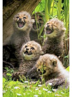 """Little cheetah cubs very upset and hissing. I can imagine them saying: """"Get away. We want our mother!"""""""