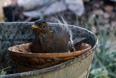 female of #Turdus #Merula in the bathtube