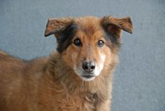 TO BE DESTROYED 11/19/13 Brooklyn Center  SUNNY  #A0984959 Neutered male tan and white tan germ shep mix  12 YRS STRAY on 11/14/2013  SENIOR ALERT!!! Allowed examiner to per him, but became defensive when trying to collar him. NO issues w/ food/bone/toy/  or meeting helper dog!  This pup is scared & has some medical conditions that need attention, I'm sure don't help. This boy needs a hero to step up tonight & save his life!