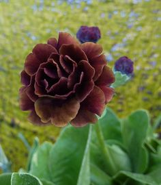 "Primula auricula 'Abuelita', perennial 6-8 "" foiage with 12"" flowers. part shade, blooms spring. plant near japanese maple."