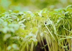 Tuinkers is een kruid dat afkomstig is uit de kruisbloemenfamilie. We kennen dit kruid ook wel als sterrekers of bitterkers. Je hebt gekrulde en gewone rassen tuinkers. Oorspronkelijk vinden we de tuinkers terug in Noord-Afrika, vooral in Egypte. Tegenwoordig is het ook een geliefd kruid in onze Nederlandse keuken. We kennen zowel grove als fijne tuinkers. De meeste mensen gebruiken ... Read More