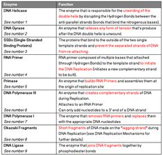 Image result for dna replication and enzymes