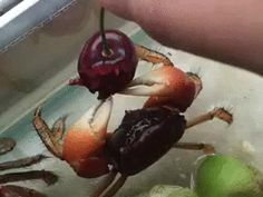 Never thought I'd call a crab adorable...but then I saw this guy daintily munching on a cherry