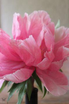 Paeonia suffruticosa Yachiyotsubaki. The petals seem to have a delicate translucence - a depth to get lost in.