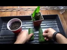 Snake Plant - Mother-in-Law's Tongue: How To Propagate from Cutting - Cloning Snake Plant - YouTube