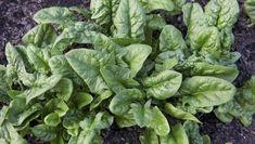 Nem kell lemondani a saját termesztésû zöldségekrõl õsszel sem. Vegetables High In Iron, Fall Vegetables To Plant, Types Of Vegetables, Garden Pests, Garden S, Vegetable Garden, Permaculture, Landscaping Tips, Garden Landscaping