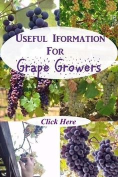 Info For Grape Growers - Links to sites with good information about how to grow grapes.