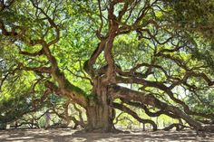 Cannot wait to see this 1500 year old tree in Charlestown, South Carolina with my good friends Beth & Kristian.