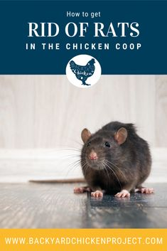 So you have a rat problem? We've been there. And even when it seems hopeless, know that there is a light at the end of the tunnel. Follow this step-by-step guide of the best way to get rid of rats in chicken coop. Getting Rid Of Rats, Chicken Pen, Raising Backyard Chickens, Step Guide, Rodents, Poultry, Homesteading, Animals, Posts