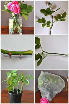 For rose lovers. How to propagate your own rose cuttings. - Don't forget to bury some bananas with your new rose bush. - this is how we got our rose bushesRose cutting method easy way to get more roses. Just steal a clipping from someone thats what i Plants, Planting Flowers, Growing Flowers, Flowers, Propagating Roses, Growing Roses, Flower Garden, Rose, Garden Projects