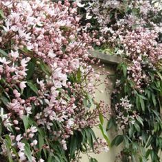 SPECIAL DEAL - Usually today just - Save Clematis armandii Apple blossom is a beautifully scented cultivar with lovely pale white flowers kissed with pink. Growing Flowers, Planting Flowers, Shade Garden, Garden Plants, Evergreen Clematis, Evergreen Garden, Clematis Armandii, Australian Garden, Climbing Vines