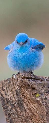 Mountain Bluebird Isn't he/she so cute! I just want to cuddle with it! It's so fluffy and looks so soft!