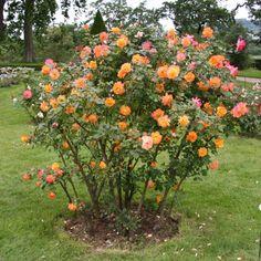 Existem muitas formas de decorar o jardim, mas nada como plantar roseiras sendo que estas são umas das flores mais bonitas que existem. Al...