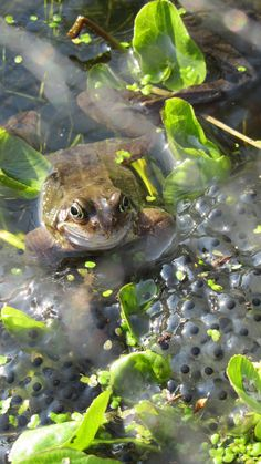 one of my favourite signs of #spring... #frogspawn.