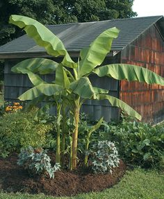 Hardy Banana (Musa basjoo)  Imagine growing tropical bananas in your outdoor garden as far north as New England. With this Hardy Banana you'll get a defining tropical look. And, yes with proper mulching, it can withstand temperatures below zero. Bad news is you can't eat the fruit.