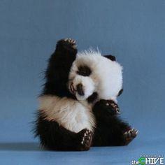 funny-animals-pets-11  panda baby
