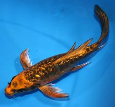 White butterfly koi beautiful flowing elongated fins for Baby butterfly koi