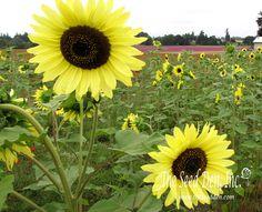 lemon queen sunflower - Google Search