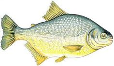 Image result for peces de rio