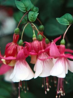 Pink and White Fuchsia Bells- some little girls like to wear these as pretend earrings: