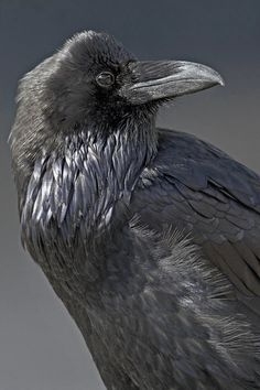 Adult raven showing off throat hackles. (Photographer: Norman Rich)