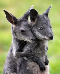 baby swamp wallabies - You go first K......No you go first!