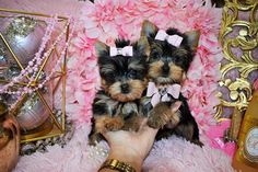 Some of the Tiniest, Most Beautiful Teacup Yorkie Puppies in the World! Teacup Yorkie and Small Toy Yorkies for Sale. Micro Teacup Yorkie, Teacup Yorkie For Sale, Cute Teacup Puppies, Yorkies For Sale, Yorkie Puppy For Sale, Yorkie Puppies, Baby Yorkie, Chihuahua, Yorkshire Terrier Haircut