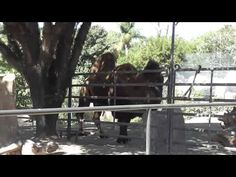 San Diego Zoo Camels.  Filmed at the San Diego Zoo with a Panasonic HC-V100M camera in 1080P HD.  Please share this video with others and be sure to subscribe to IrixGuy's Adventure Channel (http://youtube.com/IrixGuy) and enjoy all of my other exciting videos too!