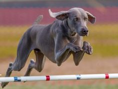 From the highest jumper to the best swimmer, find out which Olympic sports these extraordinary doggie athletes might excel at.