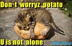 Don't worry potato #meme #funny #lol #cat