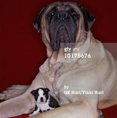 mastiff and boston terrier | LARGE MASTIFF SMALL BOSTON TERRIER High-Res Stock Photography | Getty ...