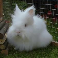 white lionhead rabbit - Google Search