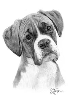 Adult Boxer dog pencil drawing thumbnail