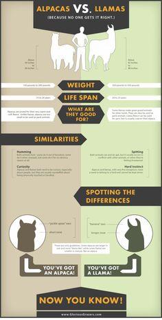 Llama vs alpaca. Repinned by Elizabeth VanBuskirk. A good chart for identifying llamas & alpacas.