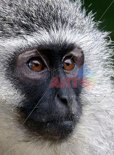 stock photo of vervet monkey portrait Funny Animal Faces, Cute Funny Animals, Magnificent Beasts, Little Monkeys, Stock Art, Primates, Animals Beautiful, Savannah Chat, Safari